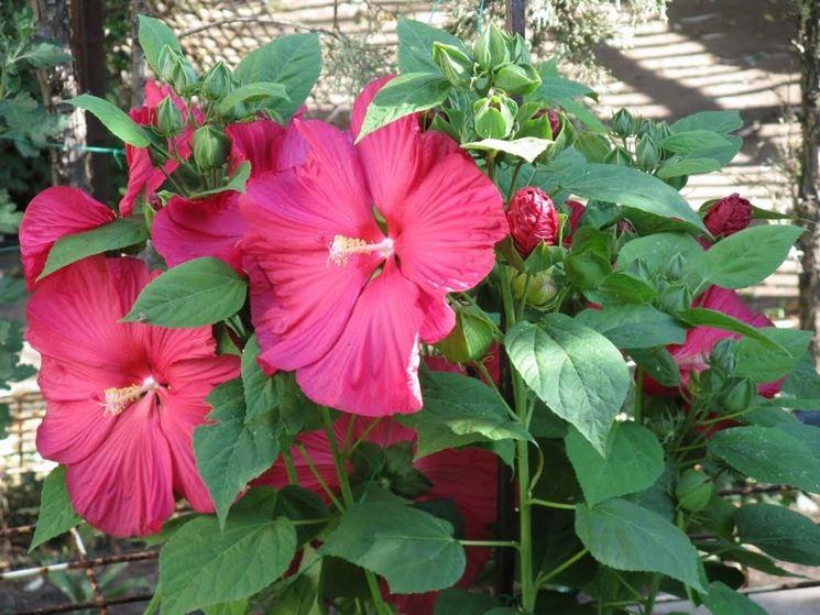 Piante e fiori di Hibiscus moscheutos