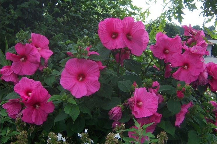 Fiori di Hibiscus moscheutos