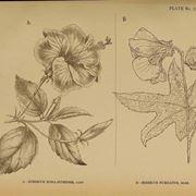 Illustrazioni botaniche di variet� di ibisco