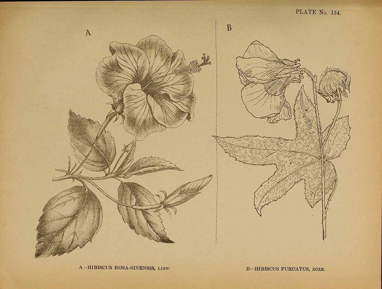 Illustrazioni botaniche di varietà di ibisco