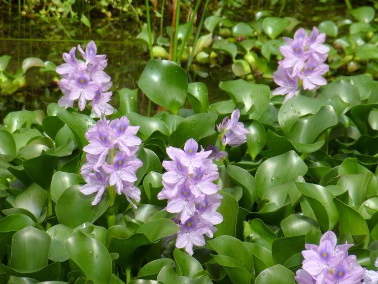 fiori di Giacinto d'acqua