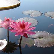 piante acquatiche per laghetto