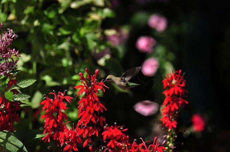 Fiori di Lobelia cardinalis