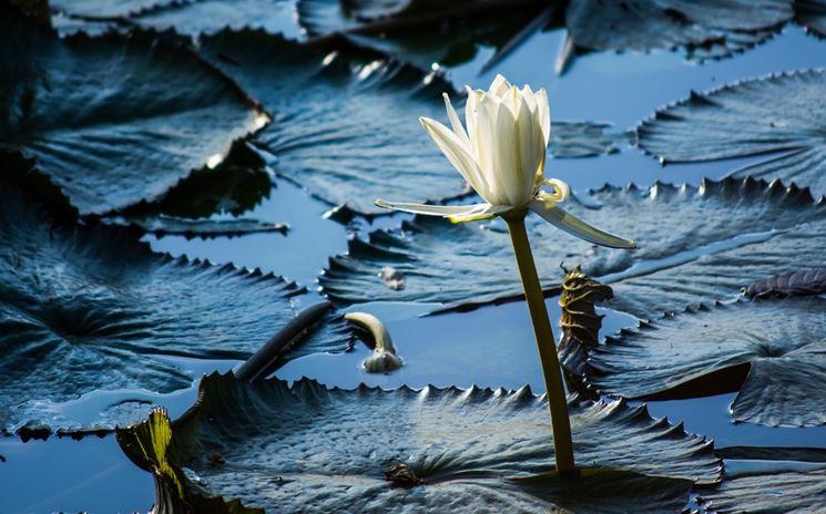Pianta loto fiore