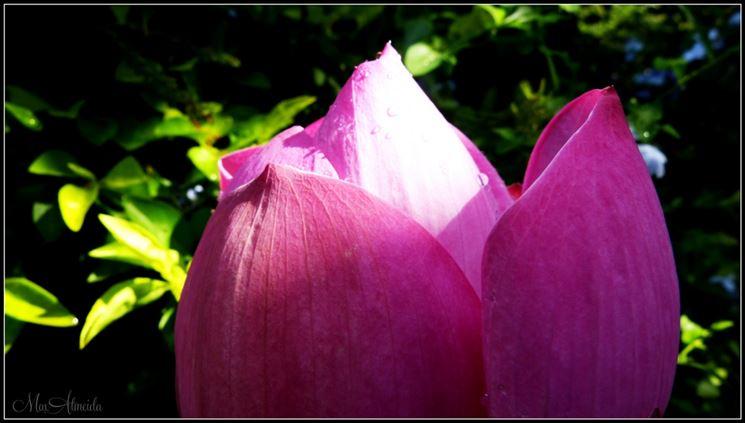 Bocciolo fiore loto rosa