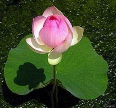 pianta e fiore galleggianti