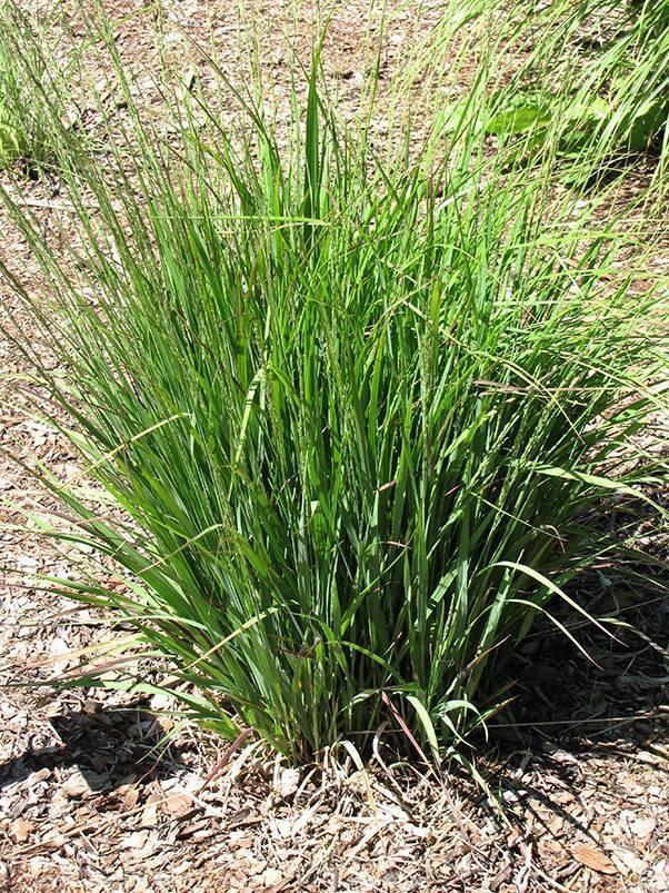 Piante marginali piante acquatiche for Piante ossigenanti per laghetto
