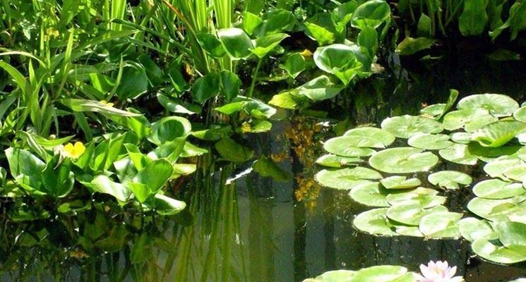 piante palustri piante acquatiche