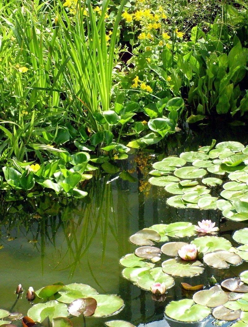 Piante palustri piante acquatiche for Piante palustri