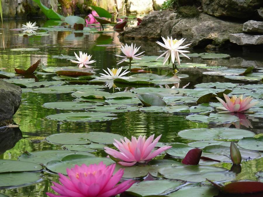 Scegliere e piantare le piante acquatiche piante acquatiche for Piante ossigenanti per laghetto