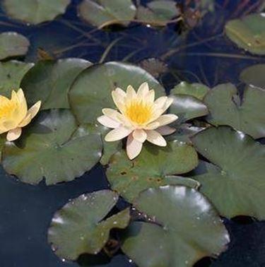 Vendita piante acquatiche - Piante acquatiche