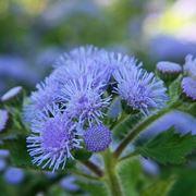 macro fiori agerato