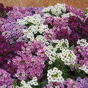 fiori alisso