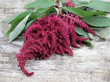Infiorescenze dell'amaranthus