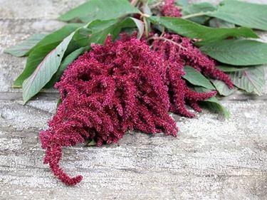 Infiorescenze dell'amaranthus