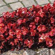 Un'aiuola di begonia semperflorens dai fiori rossi e dal fogliame bronzeo