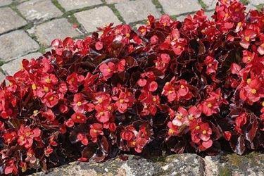 Un'aiuola di <em>begonia semperflorens</em> dai fiori rossi e dal fogliame bronzeo