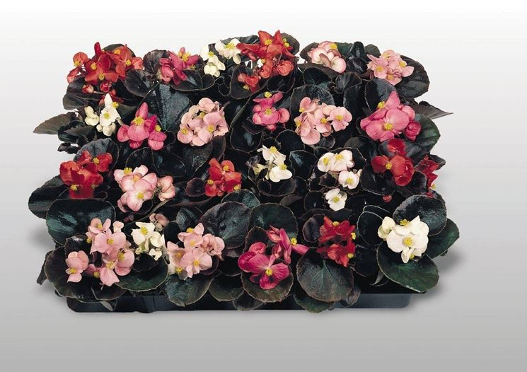 Piantine di begonie semperflorens di vari colori