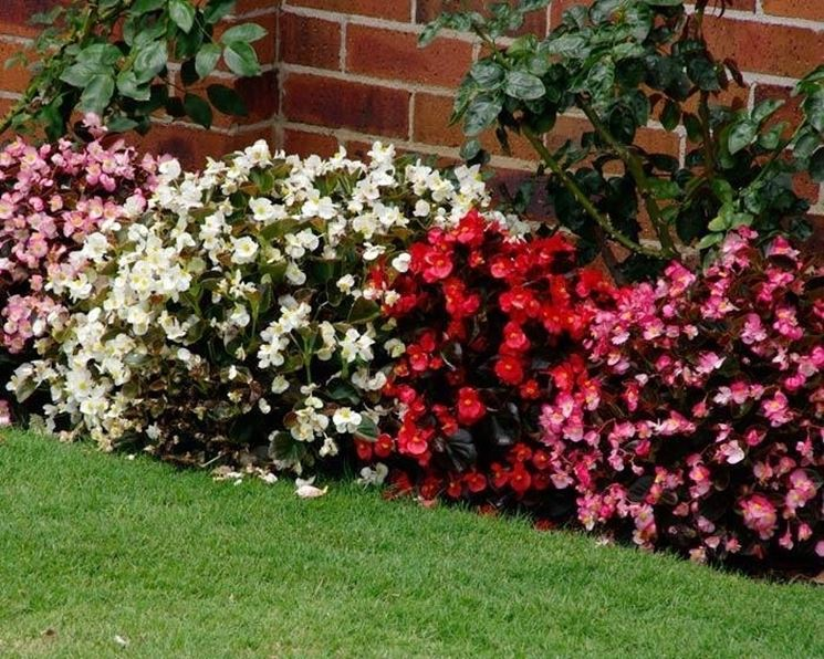 Cespugli di begonie semperflorens di diverso colore