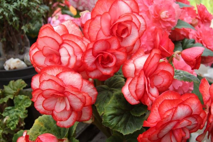 Un particolare dei fiori della begonia semperflorens