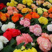 fiori begonia