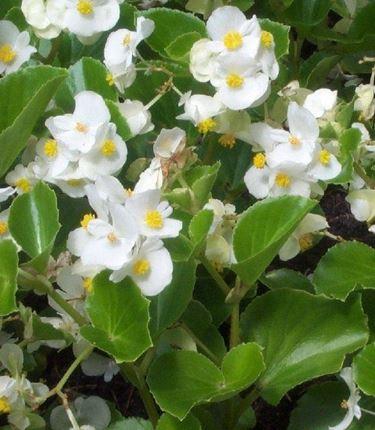 begonietta bianca