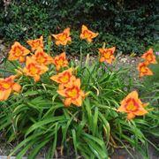 Piante e fiori di Hemerocallis
