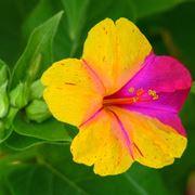 bella di giorno fiore