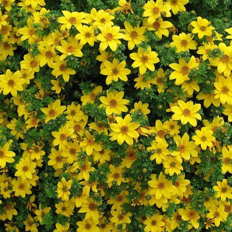 fiori bidens