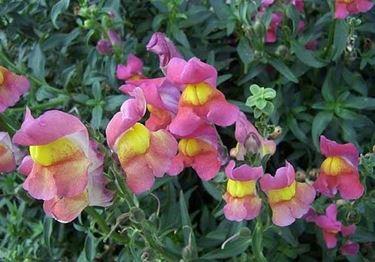 Una pianta di bocche di leone dai fiori variopinti