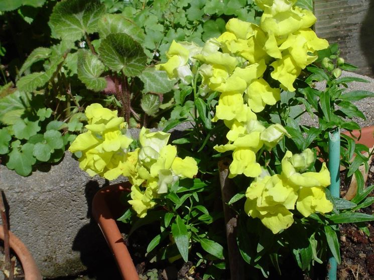 Bocca di leone fiore piante annuali caratteristiche for Bocca di leone in vaso
