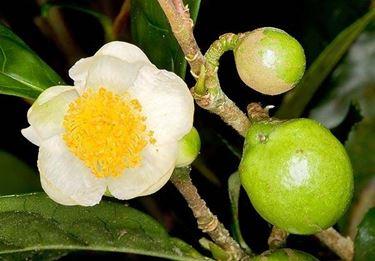Un fiore di camelia sinensis