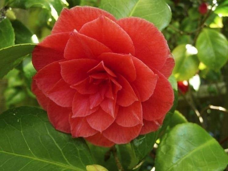 Un fiore di camelia