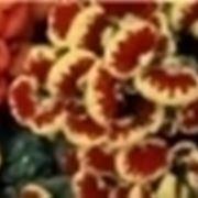 campanella fiore