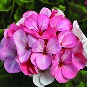 Bellissimo fiore di geranio