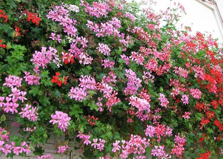 Cascata di fiori di geranio edera