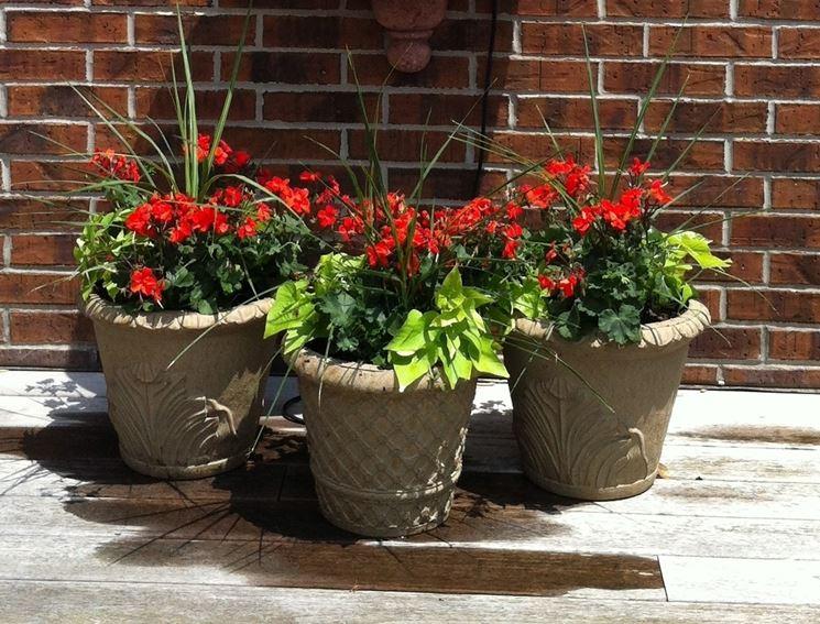 Gerani coltivati in vaso