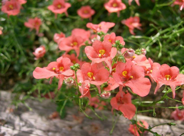 Fiori rosa di diascia