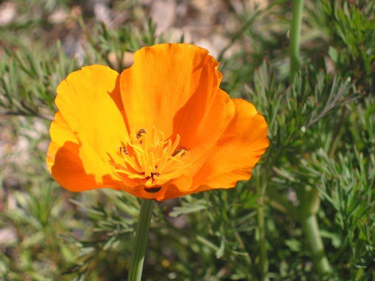 Fiore di escolzia californica
