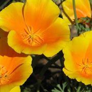 I caratteristici fiori gialli dell'escolzia