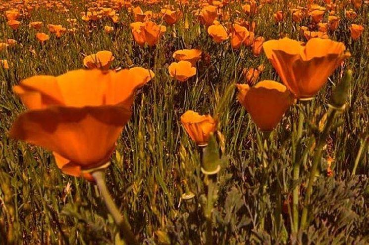 Un campo di piante di escolzia dai fiori arancioni