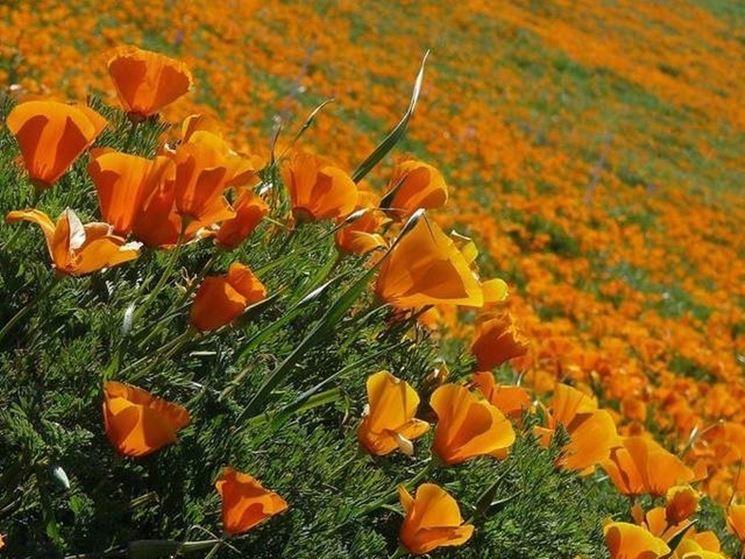 Una coltivazione di escolzia o papaveri della California