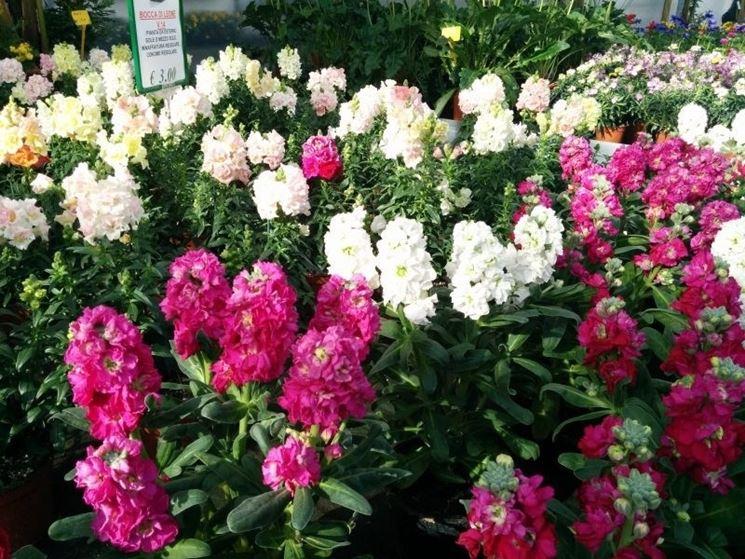 Fiore bocca di leone piante annuali caratteristica del for Bocca di leone in vaso