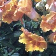 fiore bocca di leone