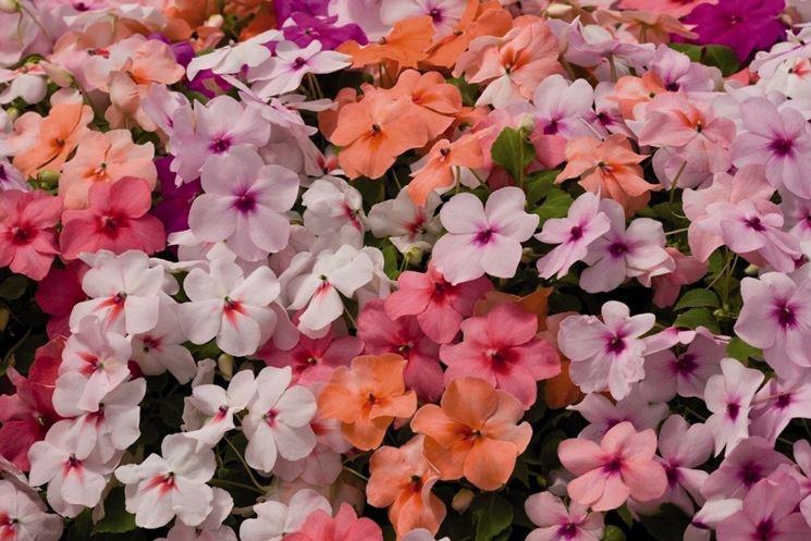 I bellissimi fiori di nuova guinea di diverse sfumature