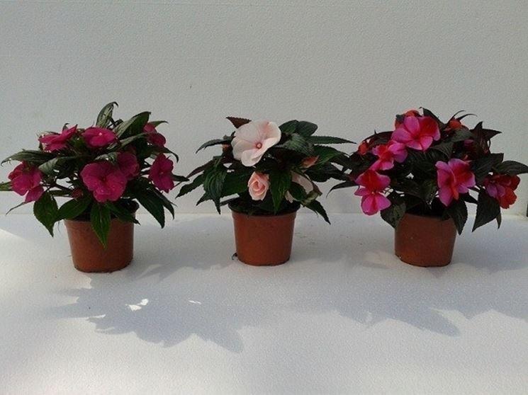 Esemplari di nuova guinea in vaso