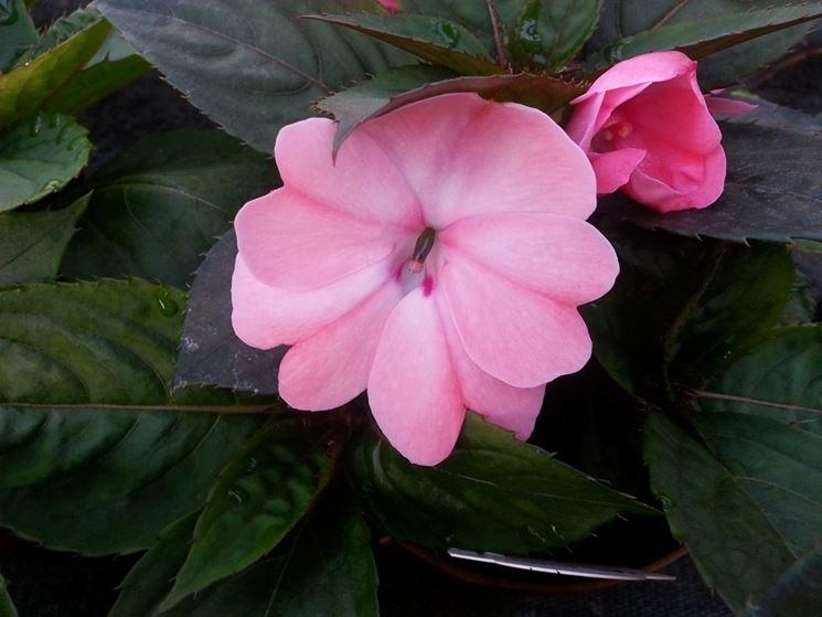 Un fiore rosa di nuova guinea