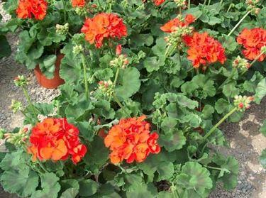 Geranio zonale dai fiori rossi