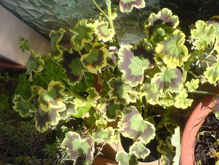 Un esemplare di geranio zonale non ancora fiorito