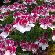 Un esemplare di geranio imperiale striato fiorito